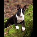"""Miniature Bull Terrier 2"" by alicevankempen"