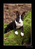 Miniature Bull Terrier 2