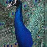 """""""Peacock"""" by chriswh"""
