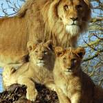 """""""Lion and cubs"""" by chriswh"""