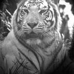 """""""White Tiger"""" by chriswh"""