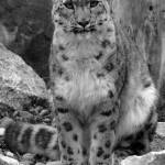 """""""Snow Leopard"""" by chriswh"""