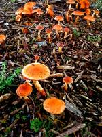 Orange Mushrooms on the forest floor