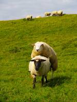 mating sheep