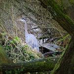 """Greenlake Walking Trail - Great Blue Heron"" by markwhitesell"