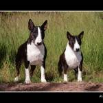 """Standard and Miniature Bull Terrier"" by alicevankempen"