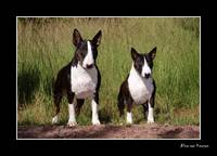 Standard and Miniature Bull Terrier