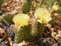 Blooming Cacti 1815