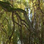 """Weeping Willow"" by allenmorrisphoto"