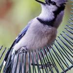 """Blue Jay (Cyanocitta cristata)"" by sandrino"