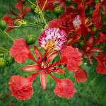"""Royal Poinciana Flower (Delonix regia)"" by sandrino"