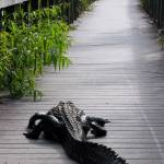 """Aligator on Boardwalk"" by sandrino"