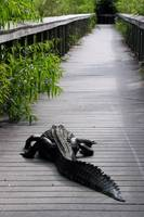 Aligator on Boardwalk
