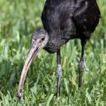 """Glossy Ibis (Plegadis falcinellus)"" by sandrino"