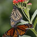 """Monarch Butterfly (Danaus plexippus)"" by sandrino"