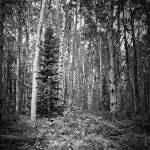 """spruce and aspen"" by msawyerphotography"