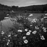 """daisies"" by msawyerphotography"