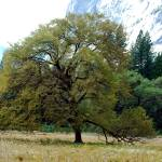 """Valley oak Yosemite Valley"" by bsimonis"