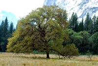 Valley oak Yosemite Valley
