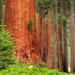 """Sequoia Grove"" by Inge-Johnsson"
