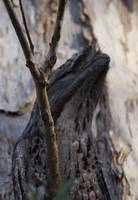 Tawny Frogmouth - member of the Nightjar family