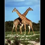 """""""Giraffe IV"""" by alicevankempen"""