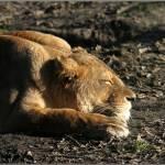 """Lioness"" by fejesb"