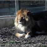 """Lion"" by fejesb"