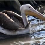"""""""Pelican"""" by fejesb"""
