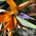 """Birds of Paradise Flower"" by srzimmartist"