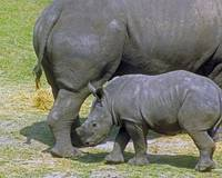 Baby and Mom Rhino