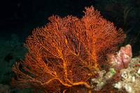Fijian Soft Coral (Night Dive)