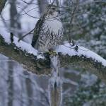 """The Hawk and his capture by Bill McAllen"" by McallenPhotography"