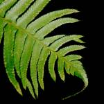 """Fern"" by trishasmith"