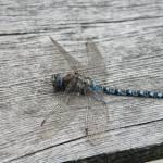 """Blue Dragon"" by taelorb"