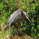 """Great Blue Heron at Anhinga Trail"" by zoeythelioness"