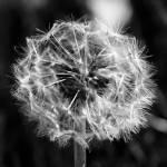 """""""Dandelion"""" by thewaltonsare"""