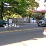 """Stockton Sergvl...Geese crossing"" by ascherandchelsey"