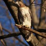 """""""Red Tail Hawk"""" by charlottelembo"""