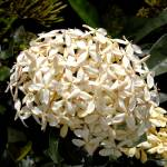 """Cayman Islands Plant Life: White Ixora"" by RonScott"