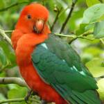 """Australian King Parrot-Male"" by paintedhorseart"