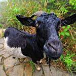 """Goat in the Chinese mountains at Hai Long Tun"" by sergioamiti"