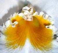 Fried Egg Orchid Detail