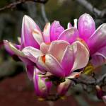 """Magnolia Echoing Springtime"" by madeline"