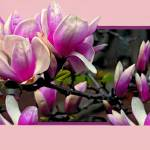 """""""Magnolia Popping Out Of Frame"""" by madeline"""