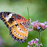 """""""Maylay Lacewing Butterfly"""" by OGphoto"""