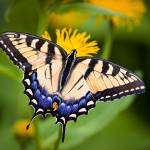 """Tiger Swallowtail Butterfly"" by OGphoto"