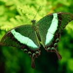 """""""Emerald Swallowtail Butterfly"""" by OGphoto"""