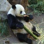 """Panda San Diego Zoo"" by Davidmartinphotos"