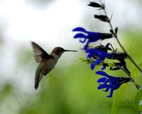 Hummingbird and Blue Salvia